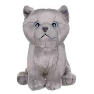 British Grey Short Hair Kitten