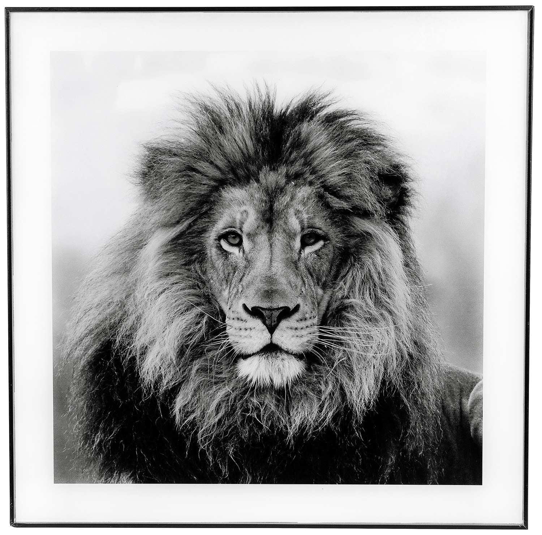 Large Monochrome Lion Print with Black Frame